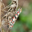 Crimson Speckled Moth