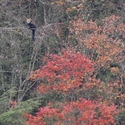 Red leaves and Red Panda