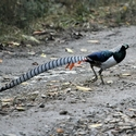 Lady Amherst's Pheasant - male