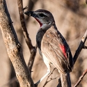 Rosy-patched Shrike