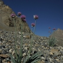 ALLIUM CAROLINIANUM, Spiti Valley