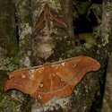 ANTHERAEA GODMANI AND EUMORPHA SP, Savegre