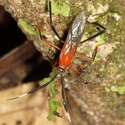 ASSASSIN BUG, Atta