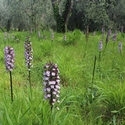A field of Lady Orchids
