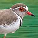 Three-banded Plover. Ethiopia