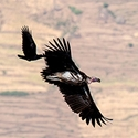 Ethiopian Vulture being mobbed by Fan-tailed Ravens