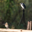 Pin-tailed Whydah and young