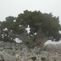 An ancient Cypress (Cupressus sempervirens var. horizontalis), Kakovoli, White Mountains, Crete