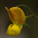 Annual Yellow Vetchling