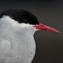 Arctic Tern close-up