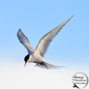 adult Arctic Tern hovering
