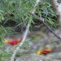 artistic (or just out of focus!) Golden Pheasants Tanjiahe