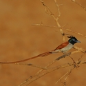 Asian Paradise Flycatcher 2