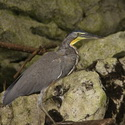 BARE-THROATED TIGER HERON, Tempisque