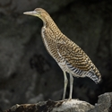 BARE-THROATED TIGER-HERON, Tempisque River