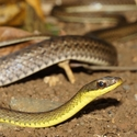 BARRED FOREST RACER, Bosque del Cabo
