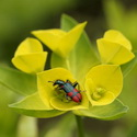 BEE-EATING BEETLE ON EUPHORBIA