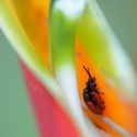 BEETLES IN HELICONIA, Paujil