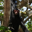 BLACK SPIDER MONKEY, Woweta