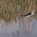 BLACK-WINGED STILT, Issyk-Kul