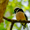 BLACK-AND-YELLOW BROADBILL, Sukau