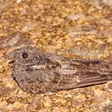 BLACKISH NIGHTJAR, Atta