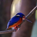 BLUE-EARED KINGFISHER, Sukau