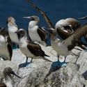 BLUE-FOOTED BOOBY, Punta Eten