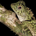 BORNEAN ANGLE-HEADED LIZARD, Poring