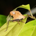 BROWN LEAF CRICKET