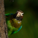 BROWN-HOODED PARROT, Laguna Lagartos
