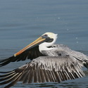BROWN PELICAN, Tempisque
