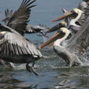 BROWN PELICANS, Tempisque