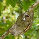 BROWN-THROATED THREE-TOED SLOTH, Dominical