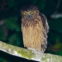 BUFFY FISH-OWL, Sukau