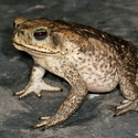 GIANT TOAD, Paujil