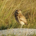 BURROWING OWL, Rock View