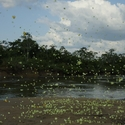 BUTTERFLIES ON SANDBANK, Karanambu