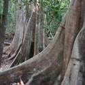 BUTTRESS ROOTS, Tangkoko
