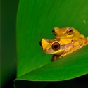 Banana Frog pair in courtship