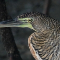 Bare-throated Tigerheron