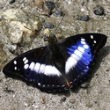 Indian Purple Emperor, Bhutan