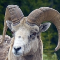 Male Bighorn Sheep on Highway 40
