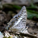Black Rajah (Charaxes solon)