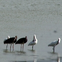 Black Storks and Spoonbills