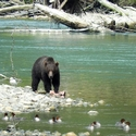 Black Grizzly eating salmon, plus Mergansers