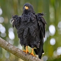 Common Black Hawk - ruffled feathers in the rain