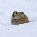 Black-lipped Pika in snow