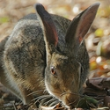Black-naped Hare