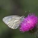 Black-veined White, Pyrenees